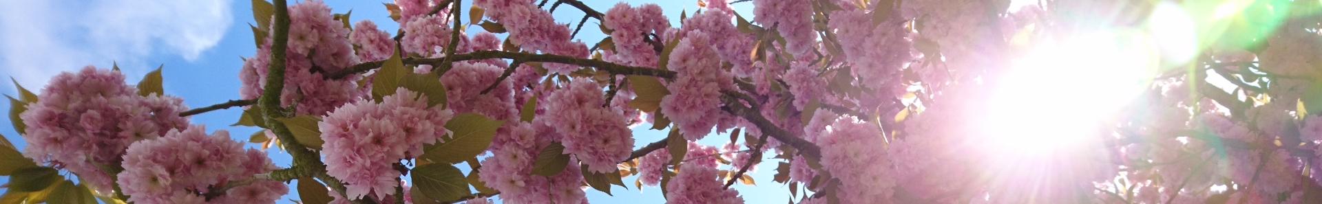 Banner - Kirschblüten